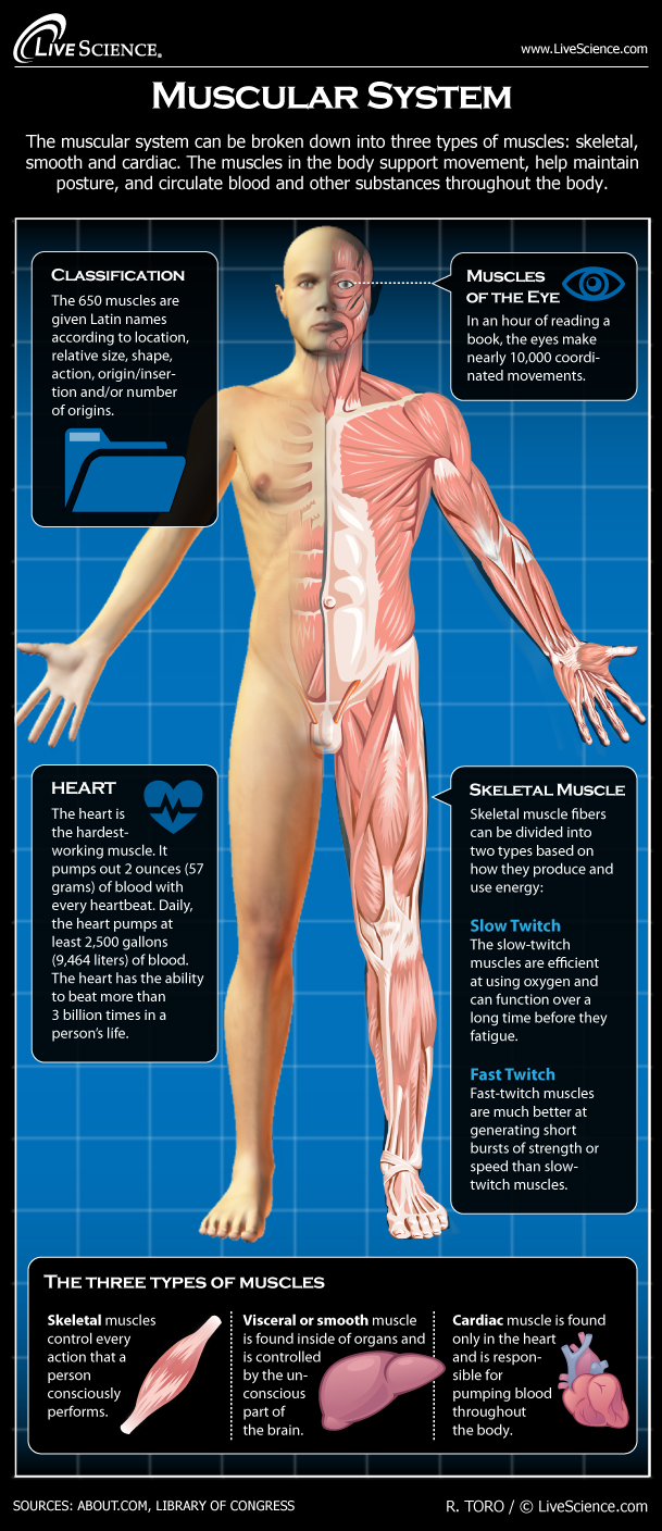 Human body muscles